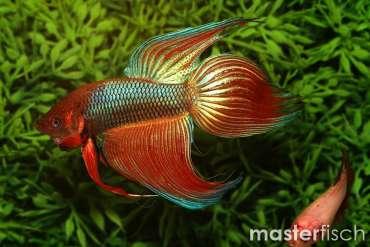 Siamesischer Kampffisch Verschieden