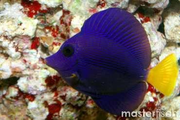 Rotmeer Doktorfisch