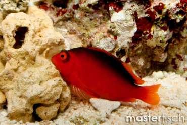 Feuer Korallenwächter