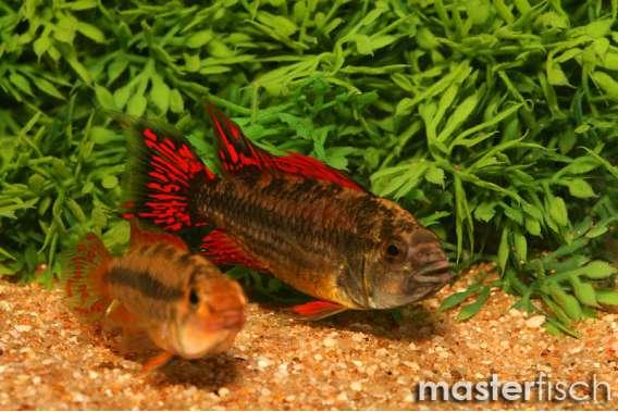 Kakadu-Zwergbuntbarsch Doppel-Rot
