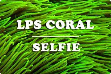 LPS Korallen (WYSIWYG)