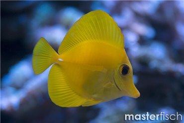 Doktorfische
