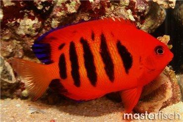 Kaiserfische