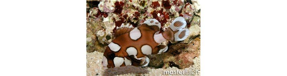 Süßlippen, Meerbarben und Umberfische